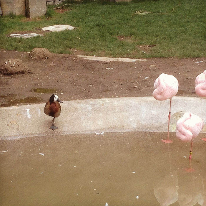 ducks-pretend-flamingos-vinegret-9