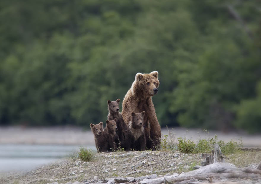 mother-bear-cubs-animal-parenting-vinegret-1