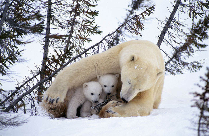 mother-bear-cubs-animal-parenting-vinegret-11