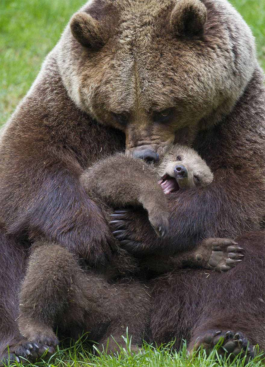 mother-bear-cubs-animal-parenting-vinegret-14