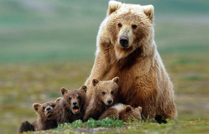 mother-bear-cubs-animal-parenting-vinegret-17