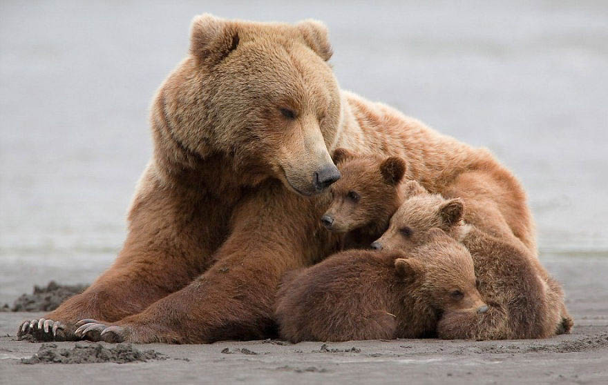 mother-bear-cubs-animal-parenting-vinegret-18