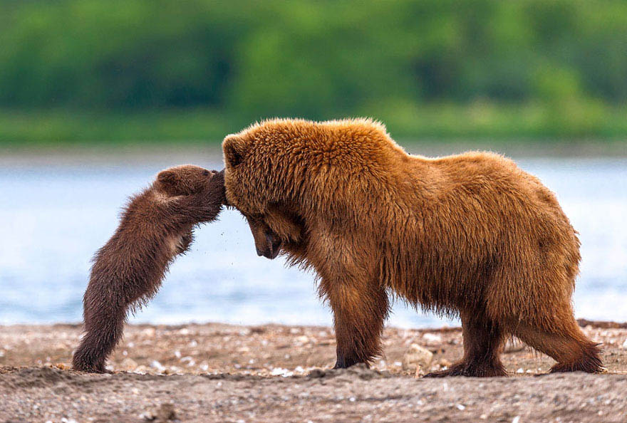 mother-bear-cubs-animal-parenting-vinegret-19