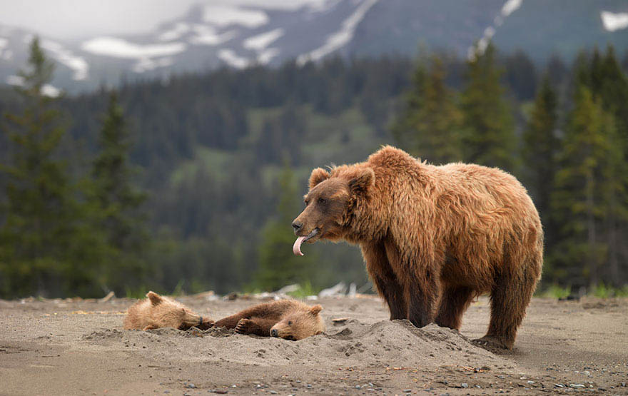 mother-bear-cubs-animal-parenting-vinegret-2
