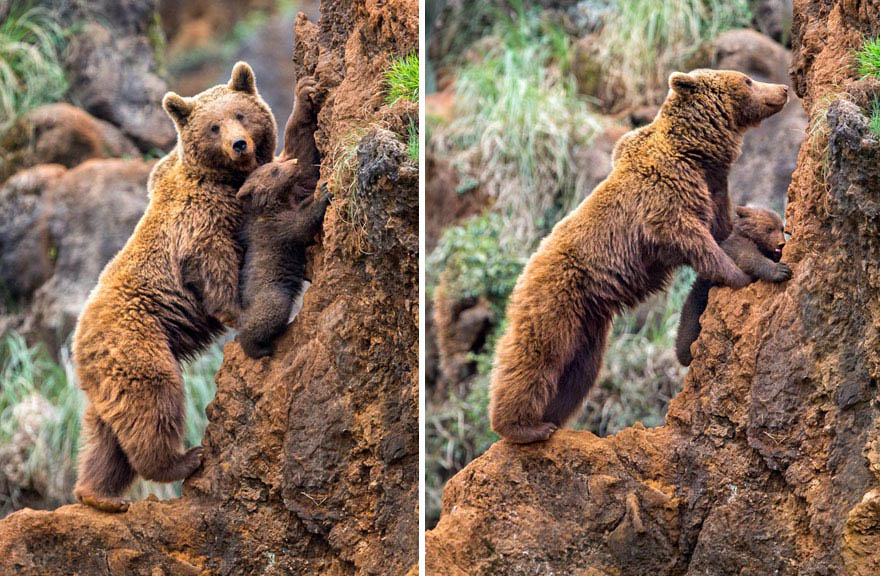 mother-bear-cubs-animal-parenting-vinegret-20