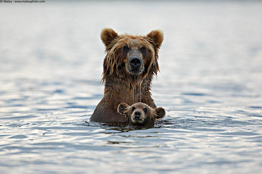 mother-bear-cubs-animal-parenting-vinegret-3