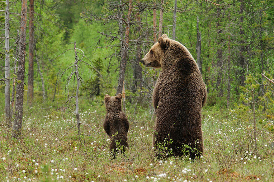mother-bear-cubs-animal-parenting-vinegret-4