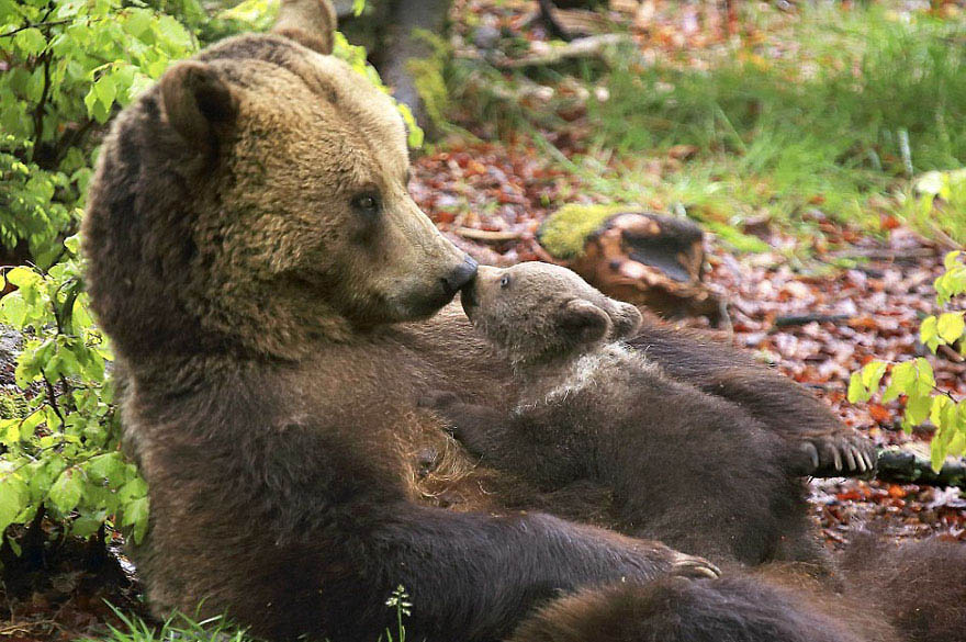 mother-bear-cubs-animal-parenting-vinegret-5