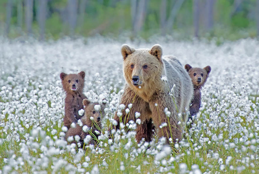 mother-bear-cubs-animal-parenting-vinegret-7