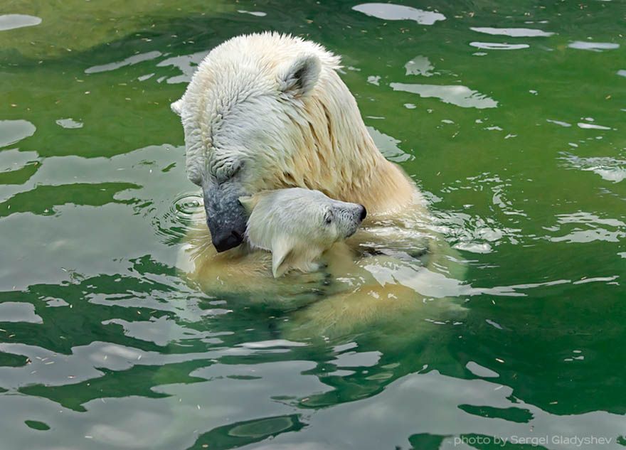 mother-bear-cubs-animal-parenting-vinegret-8