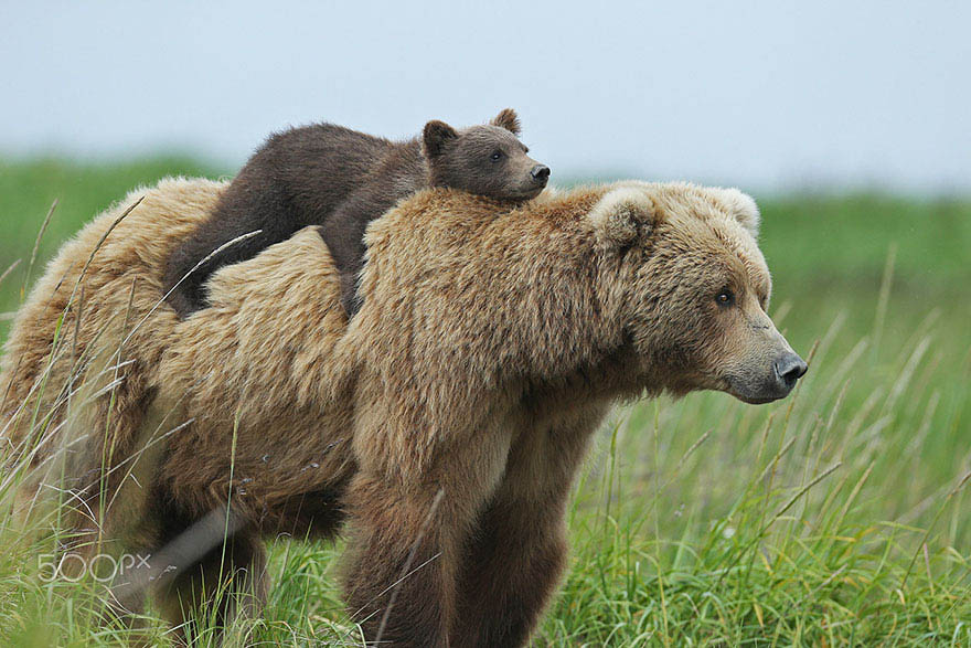mother-bear-cubs-animal-parenting-vinegret-9