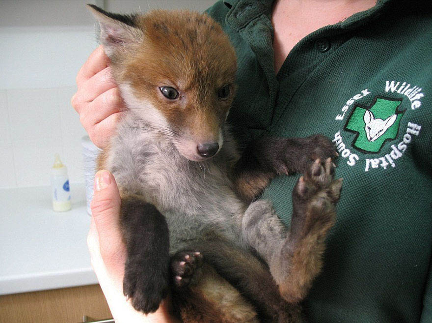 rescued-fox-muddsey-vinegret-3