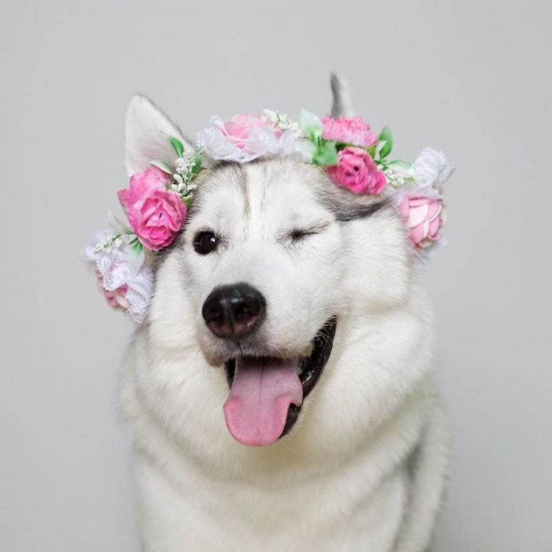 siberian-husky-wheelchair-maya-vinegret-10