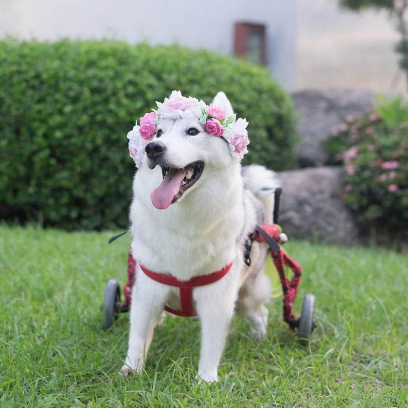 siberian-husky-wheelchair-maya-vinegret-3