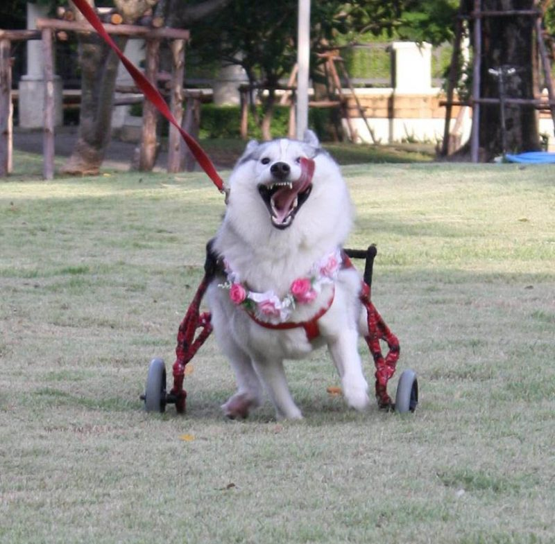 siberian-husky-wheelchair-maya-vinegret-4