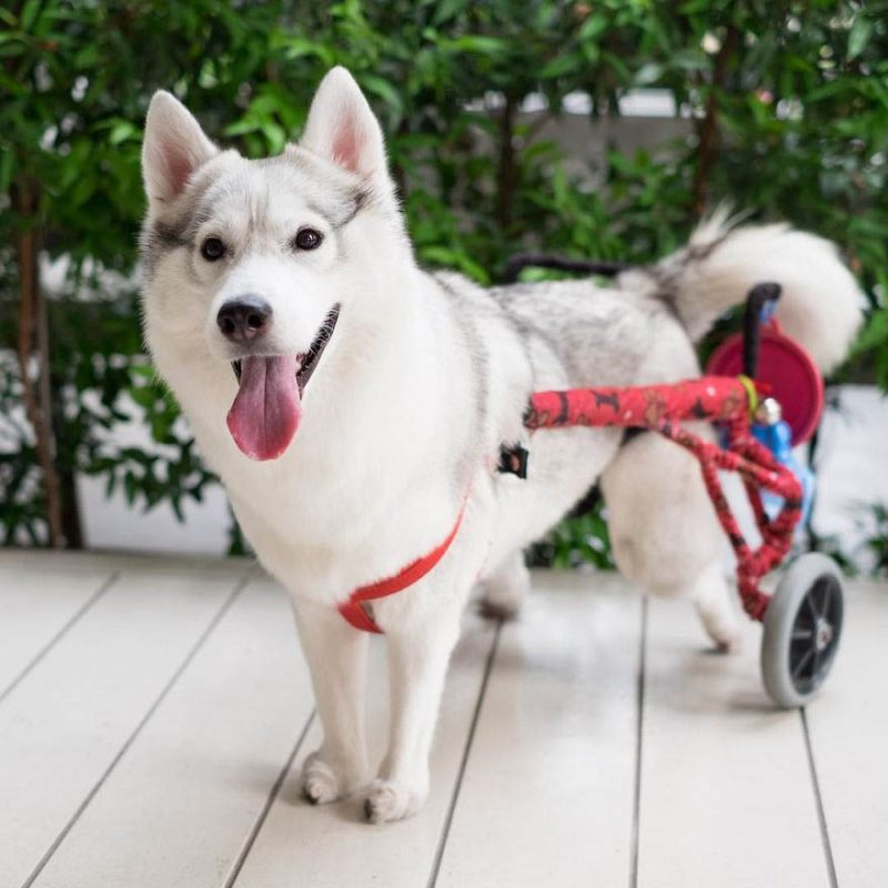 siberian-husky-wheelchair-maya-vinegret-5