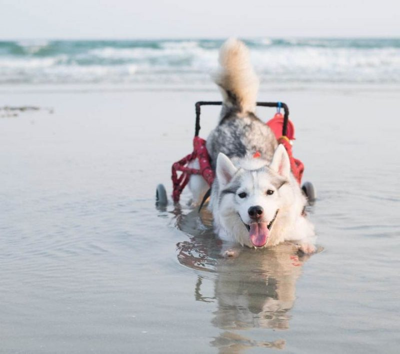 siberian-husky-wheelchair-maya-vinegret-6