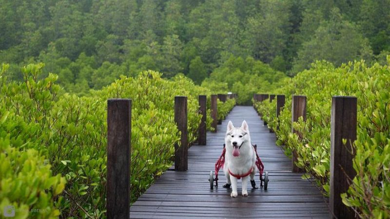 siberian-husky-wheelchair-maya-vinegret-7
