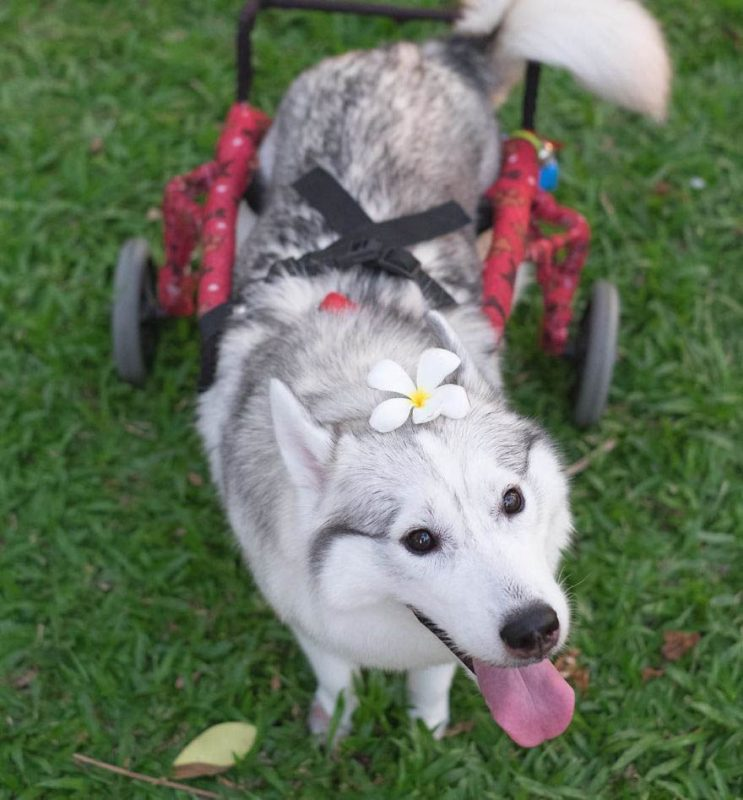 siberian-husky-wheelchair-maya-vinegret-8