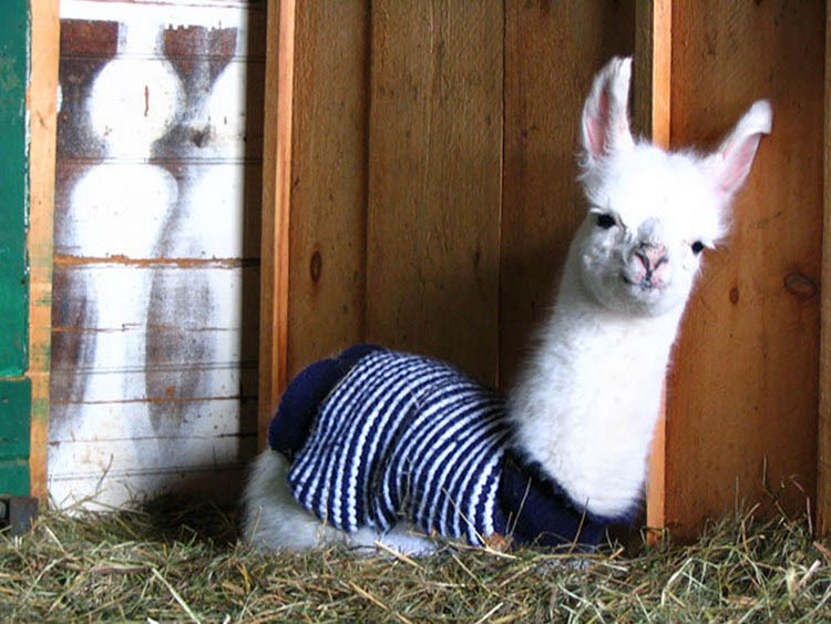 cute-animals-wearing-tiny-sweaters-vinegret-13