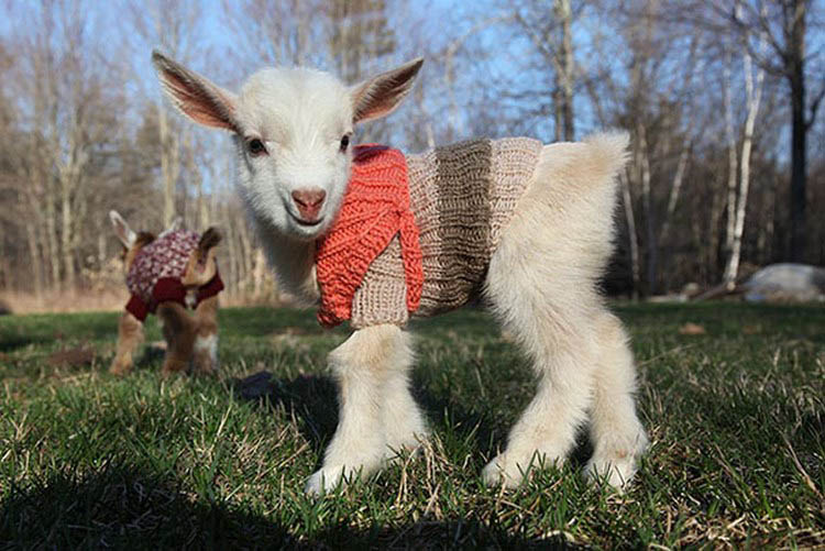 cute-animals-wearing-tiny-sweaters-vinegret-7