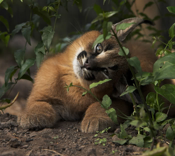 cute-baby-caracals-vinegret-6