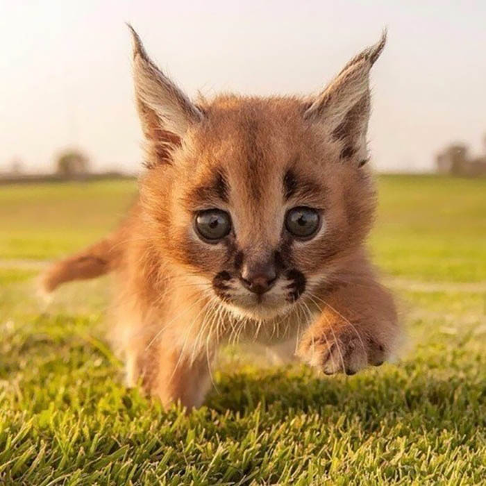 cute-baby-caracals-vinegret-9