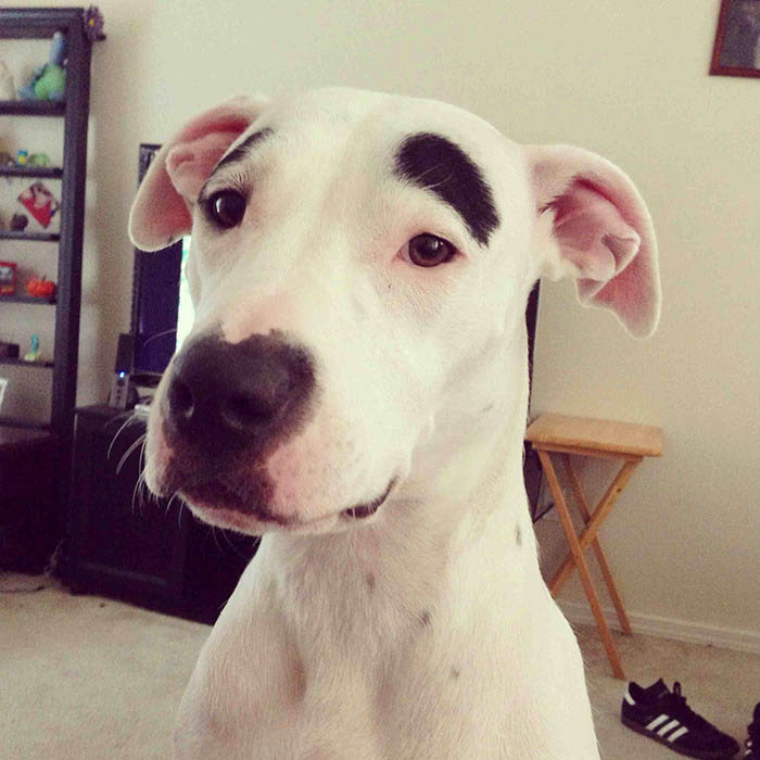 funny-dogs-with-eyebrows-vinegret-1