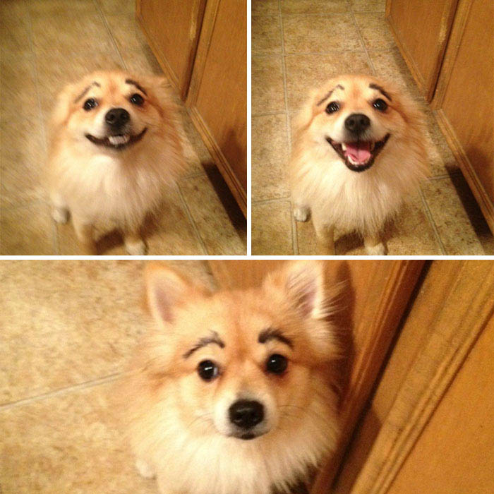 funny-dogs-with-eyebrows-vinegret-10