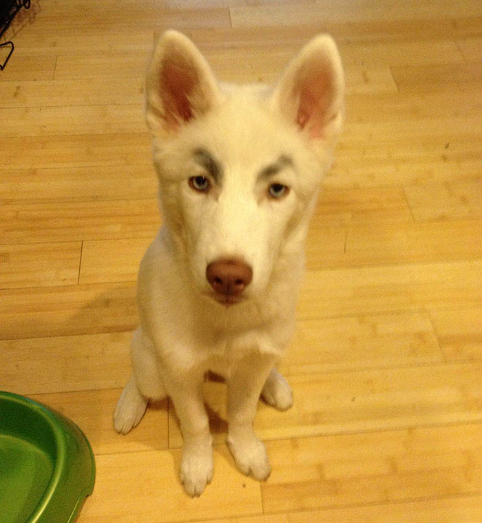 funny-dogs-with-eyebrows-vinegret-11