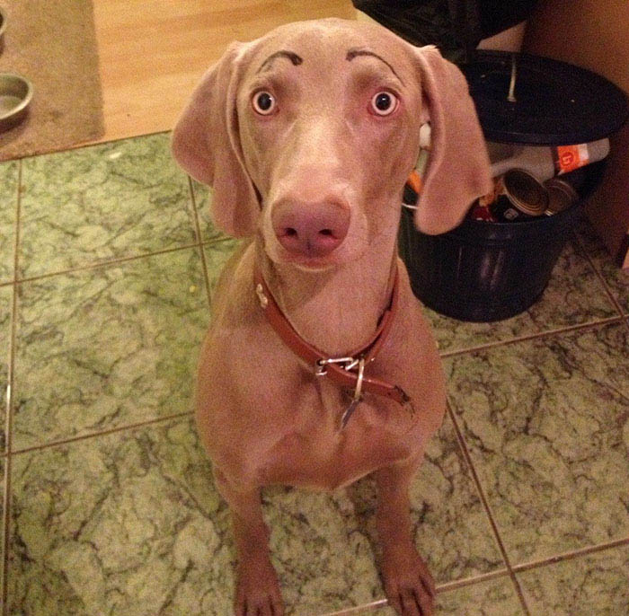 funny-dogs-with-eyebrows-vinegret-12