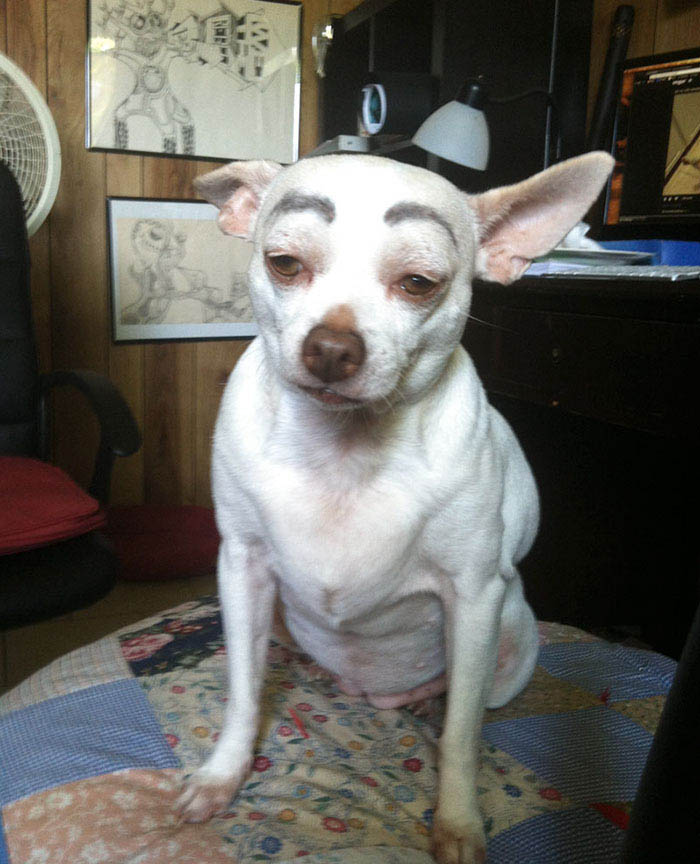 funny-dogs-with-eyebrows-vinegret-15