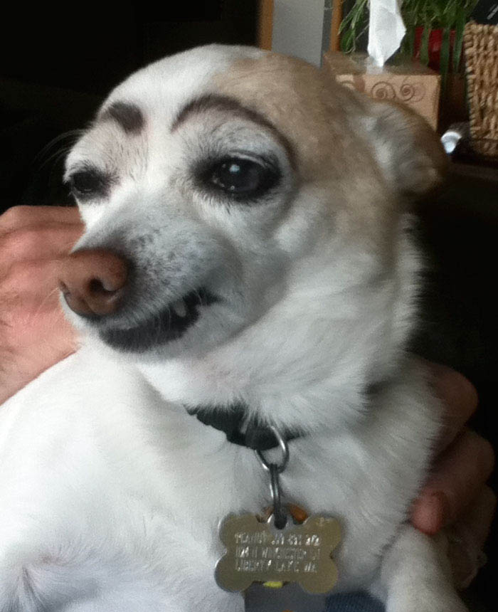 funny-dogs-with-eyebrows-vinegret-2