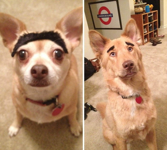funny-dogs-with-eyebrows-vinegret-5