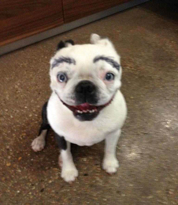 funny-dogs-with-eyebrows-vinegret-6