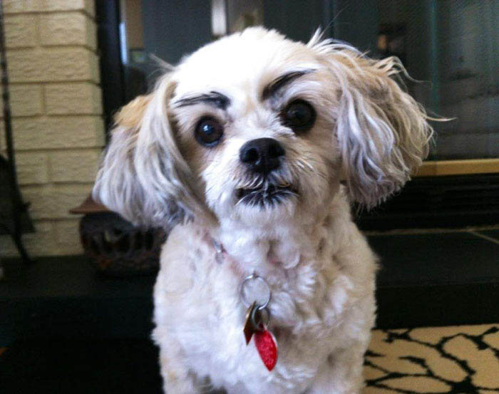 funny-dogs-with-eyebrows-vinegret-7