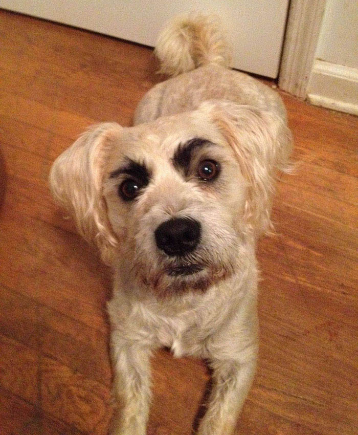 funny-dogs-with-eyebrows-vinegret-8