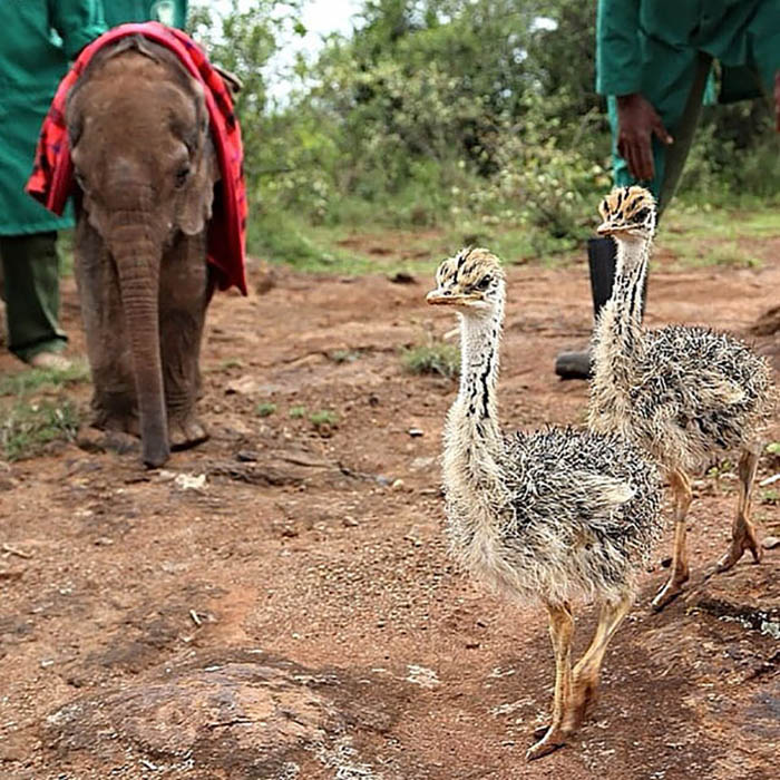 ostrich-snuggles-orphaned-elephants-vinegret-1