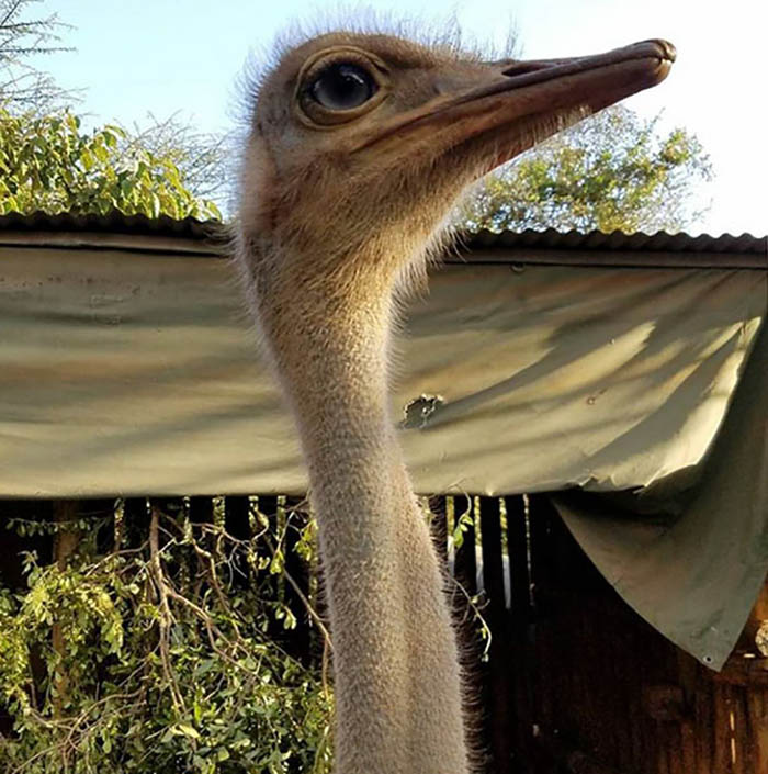 ostrich-snuggles-orphaned-elephants-vinegret-2