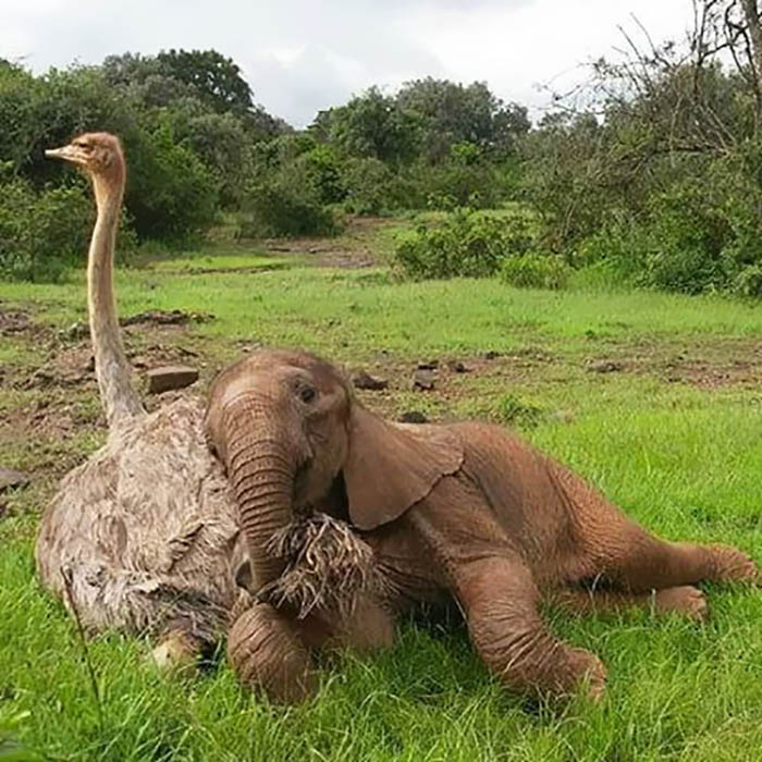 ostrich-snuggles-orphaned-elephants-vinegret-5