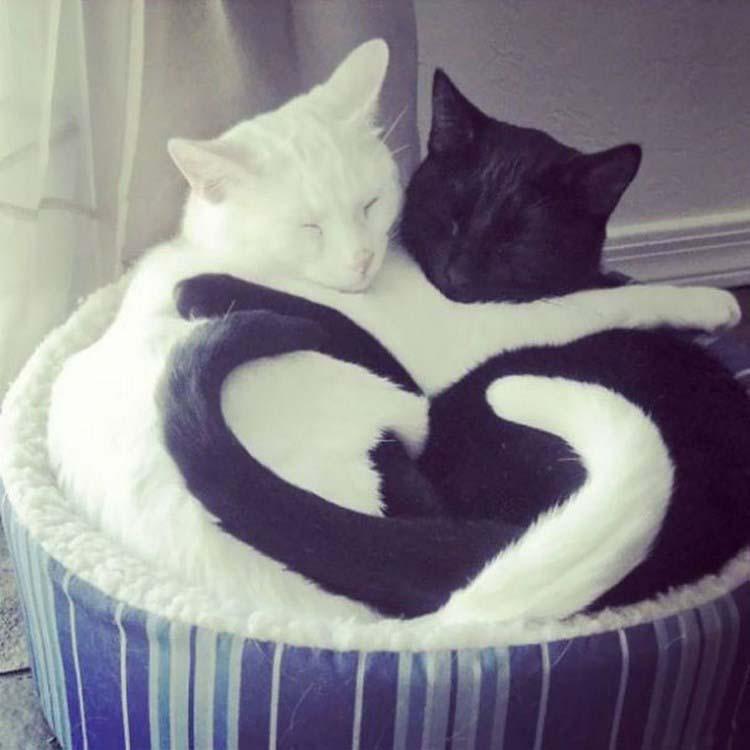 black-white-cats-yin-yang-vinegret-11