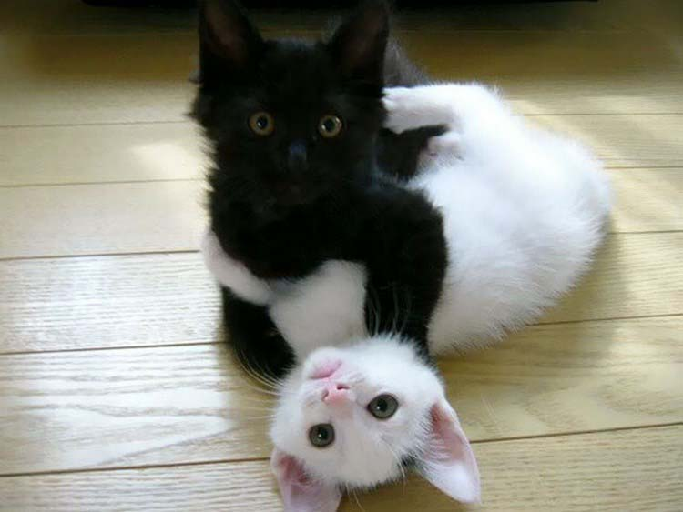 black-white-cats-yin-yang-vinegret-12