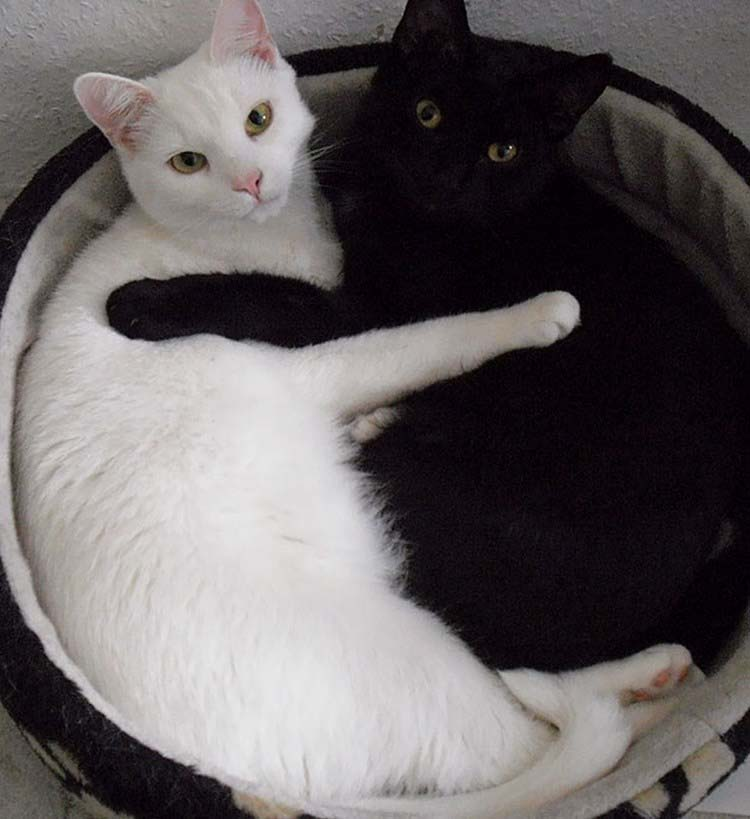 black-white-cats-yin-yang-vinegret-13