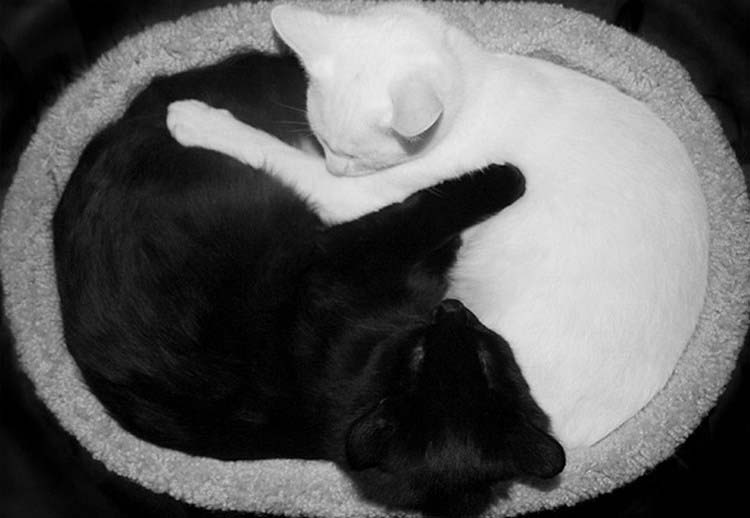 black-white-cats-yin-yang-vinegret-14
