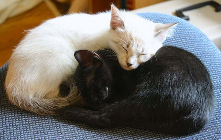 black-white-cats-yin-yang-vinegret-18