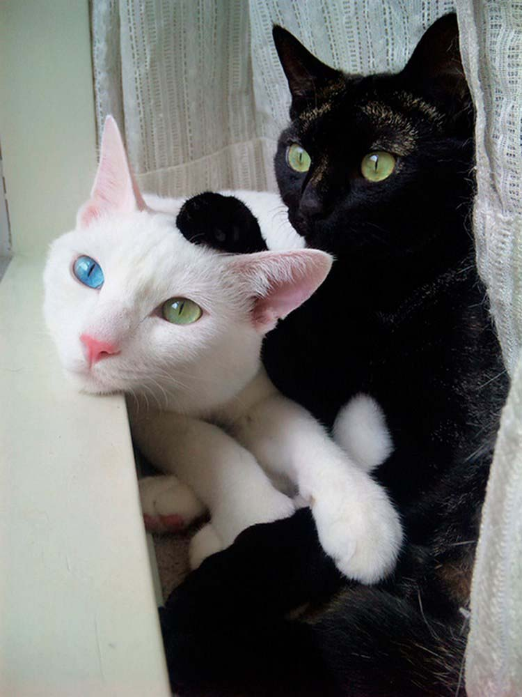 black-white-cats-yin-yang-vinegret-6
