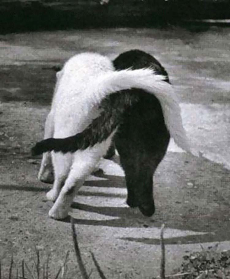 black-white-cats-yin-yang-vinegret-7