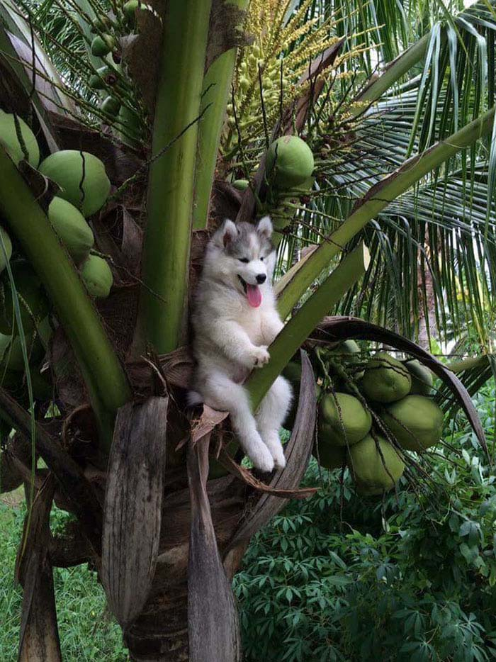 husky-tree-photoshop-battle-vinegret-1