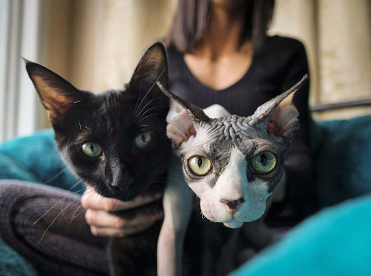 shaved-kittens-sold-sphynx-cats-vinegret-2