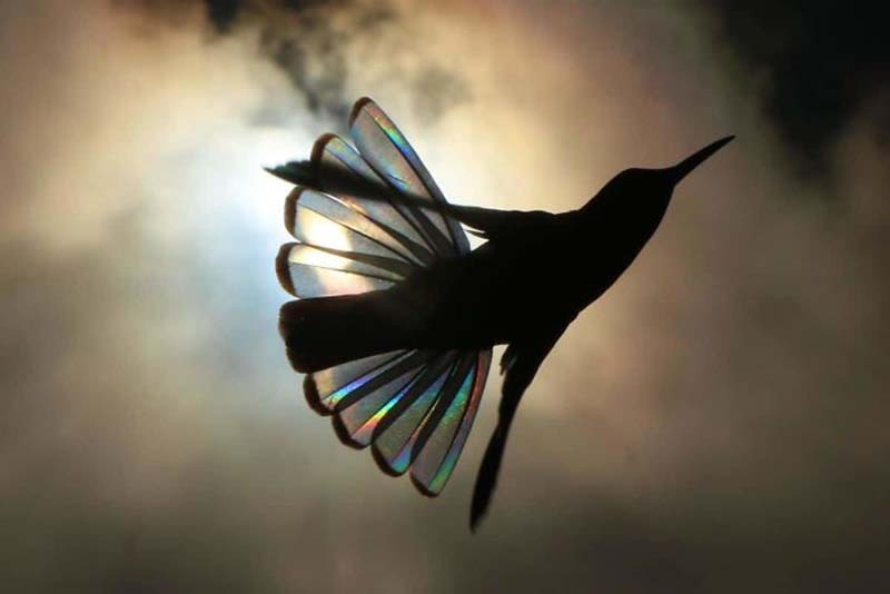 https://vinegred.ru/wp-content/uploads/2019/07/hummingbird-wings-rainbow-christian-spencer-vinegret-7.jpg